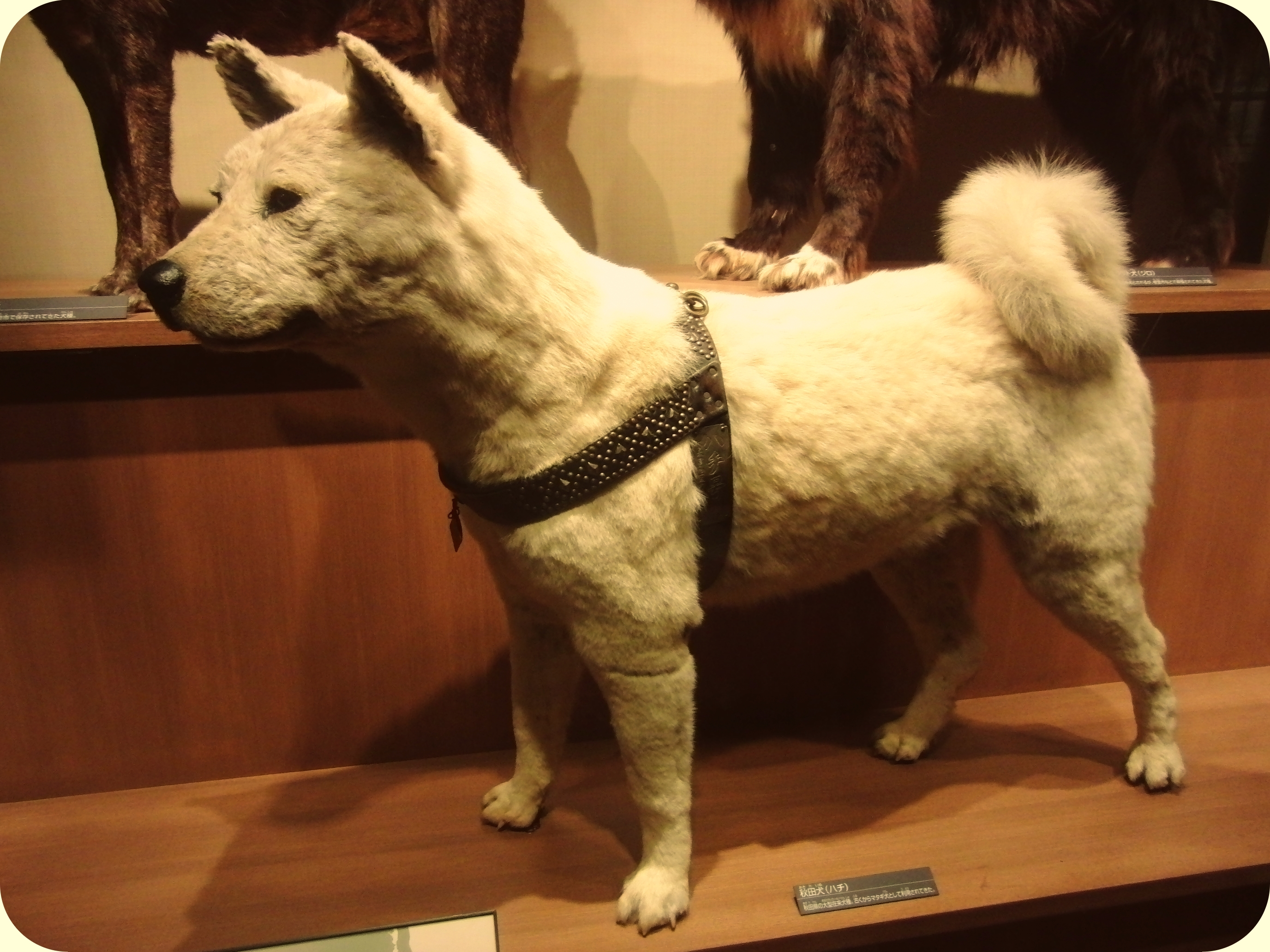 Hachiko_in_National_Museum_of_Nature_and_Science